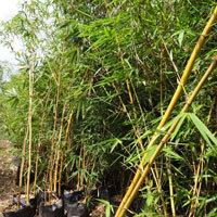 Bamboo Golden