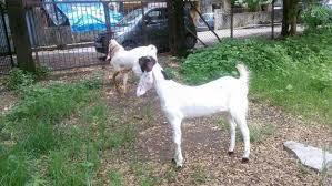 Hyderabadi Goat