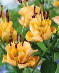 Lilies n Bulbous Plants
