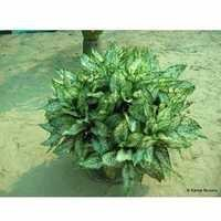 Aglaonema Foliage Plants