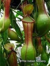 Carnivorous Live Pitcher Plant Nepenthes