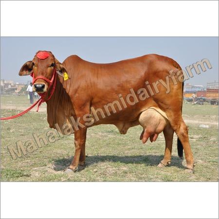 Dairy Sahiwal Cow