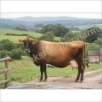 Dairy Karan Swiss Cow