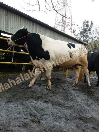 Dairy Holstein Friesian Bull