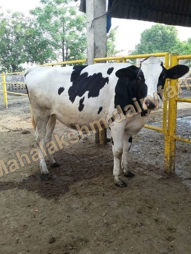Holstein Friesian Hiffer Cow