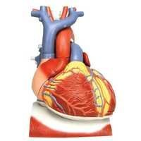 Heart On Diaphragm 3 Time Life Size