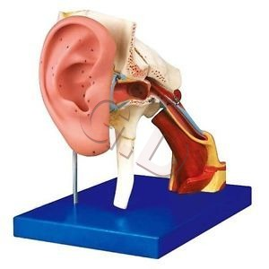 Enlarged Ear Model