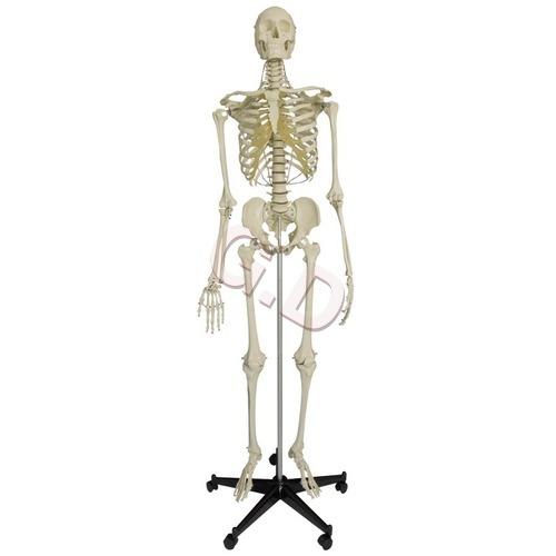 Human Skelton - Human Skelton Manufacturer & Supplier In Haryana,India