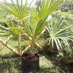 Latania Verschaffeltii Yellow Latan Palm