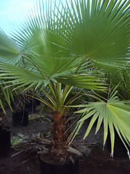 Washingtonia Robusta Palm