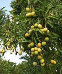 Hapus Kesar Mango Plant