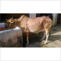 Indian Sahiwal Cow