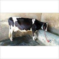 Dairy hf Cow