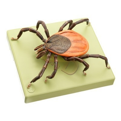 Model Of A Tick Ixodes Ricinus