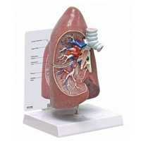 Lungs Dissection Model