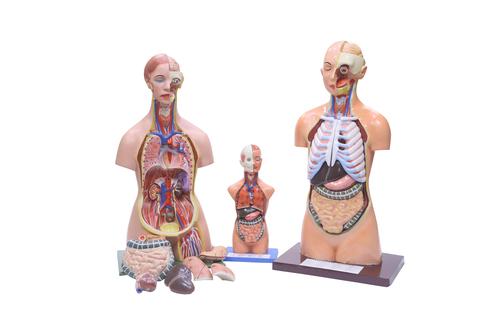 Human torso modal