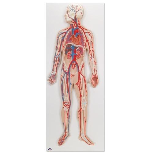 Human circulatory modal