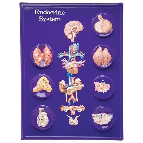 Endocrine model