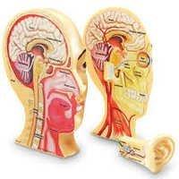 Human Head Neck Modal