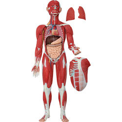 Human Muscular system