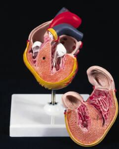 Human Heart Model
