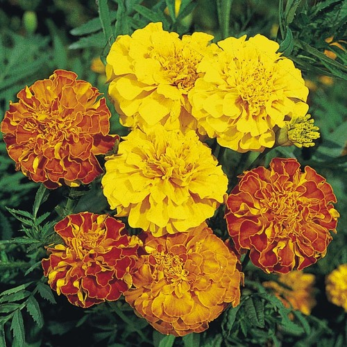 Marigold French (b)