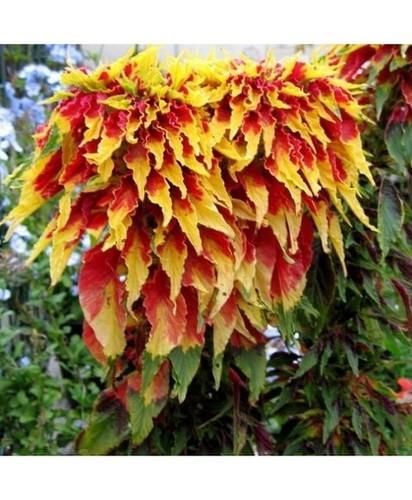 Amaranthus Tricolor Sparkle Hunt
