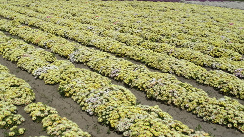 Burf (Mesbryanthemum.)