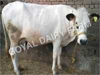 HF Cow Supplier