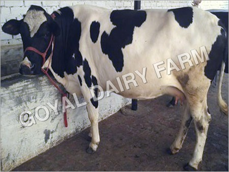 HF Cow Suppliers