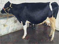 HF Cow Supplier In karnal