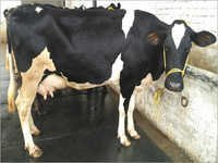 Cow Supplier In karnal