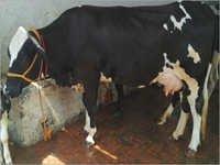 HF cow Trader