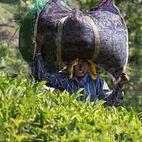 Tea Leaf Monofilament Net Fabric