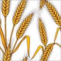 Fresh Wheat Grain