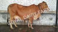 Original Sahiwal Cow