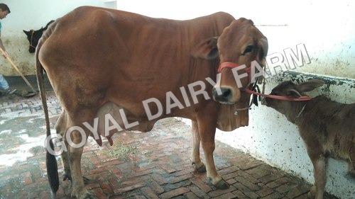 Sahiwal Cow Trader