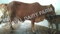 Sahiwal Cow supplier In karnal