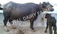 Murrah Buffalo in Karnal