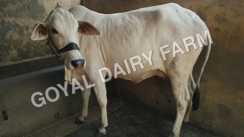 Tharparker Cow Supplier