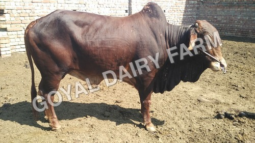 Sahiwal Bull Supplier