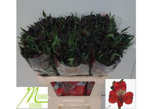 Alstroemeria Red Inca Flower