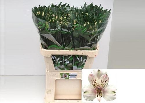 Alstroemeria Wineglass Bay Flower