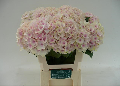 Hydrangea Dolce Vita Flowers