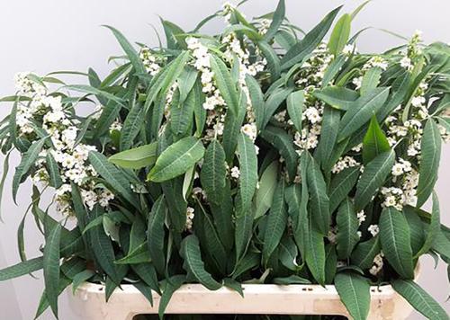 Uphorbia Quicksilver Flowers