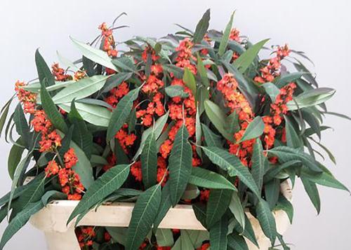 uphorbia Orange Queen Flowers