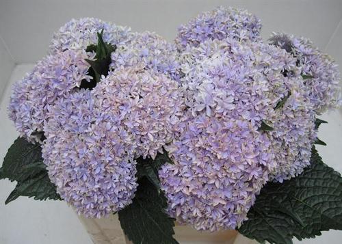 Hydrangea Inspire Milka Flowers