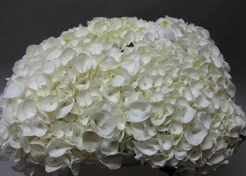Hydrangea Magical Snowbells Flowers