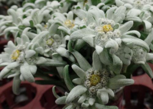 Leontopodium Alpinum Edelweiss Flower