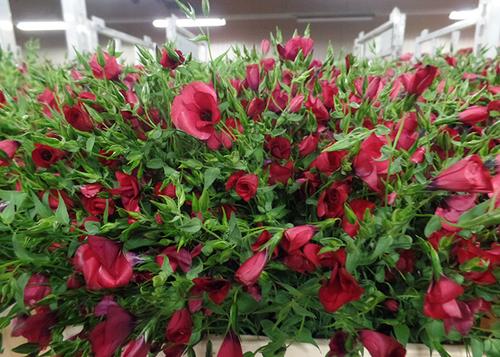 Linum Cerice - p.bunch Flowers